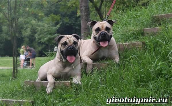 Ка-де-бо-порода-собак-Описание-уход-и-цена-породы-ка-де-бо-4