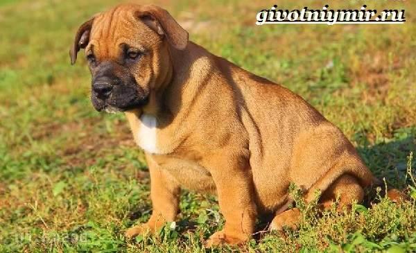Ка-де-бо-порода-собак-Описание-уход-и-цена-породы-ка-де-бо-6