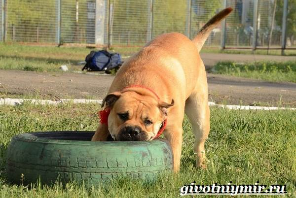 Ка-де-бо-порода-собак-Описание-уход-и-цена-породы-ка-де-бо-8