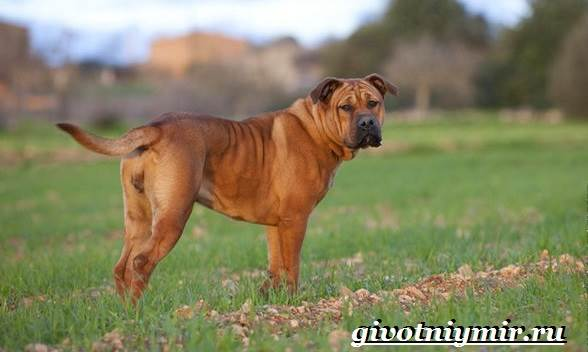 Ка-де-бо-порода-собак-Описание-уход-и-цена-породы-ка-де-бо-9