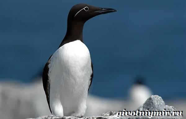 Кайра-птица-Образ-жизни-и-среда-обитания-птицы-кайры-1