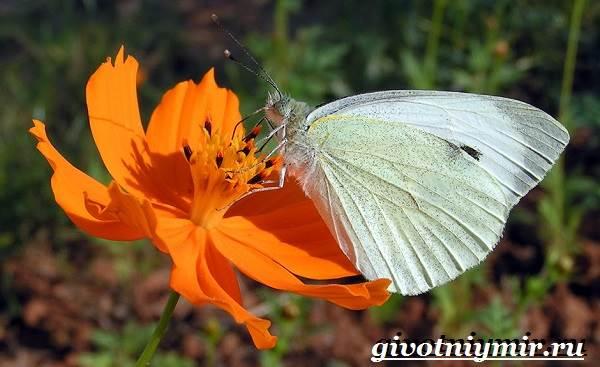 Капустница-бабочка-Образ-жизни-и-среда-обитания-капустницы-1