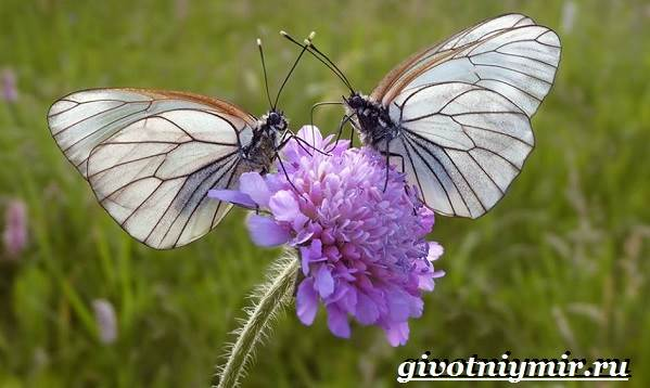 Капустница-бабочка-Образ-жизни-и-среда-обитания-капустницы-10