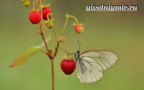 Капустница-бабочка-Образ-жизни-и-среда-обитания-капустницы-11