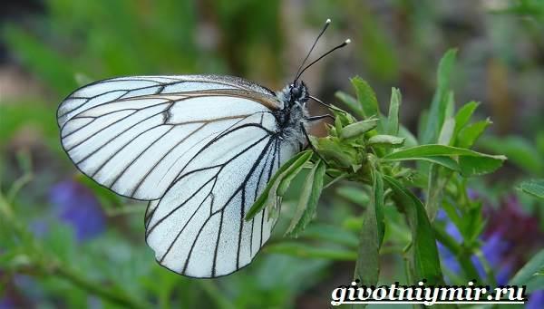 Капустница-бабочка-Образ-жизни-и-среда-обитания-капустницы-2