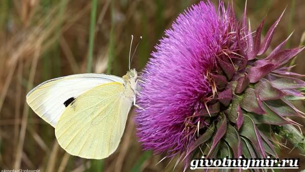 Капустница-бабочка-Образ-жизни-и-среда-обитания-капустницы-3