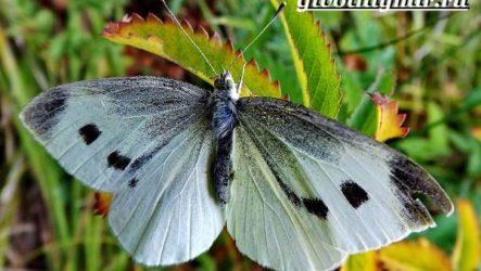 Капустница бабочка. Образ жизни и среда обитания капустницы