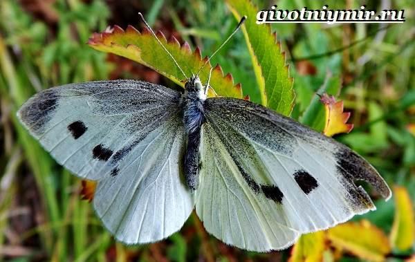 Капустница-бабочка-Образ-жизни-и-среда-обитания-капустницы-4