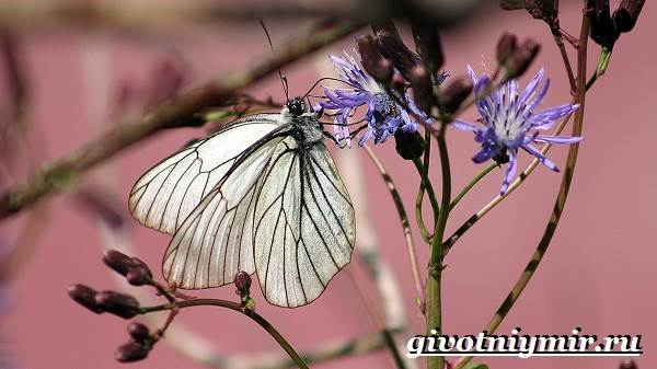 Капустница-бабочка-Образ-жизни-и-среда-обитания-капустницы-8