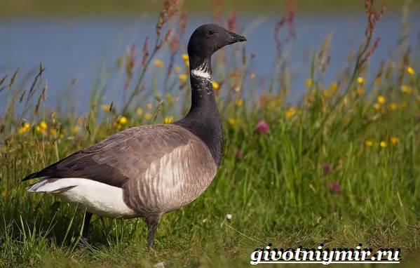 Казарка-птица-Образ-жизни-и-среда-обитания-птицы-казарки-1