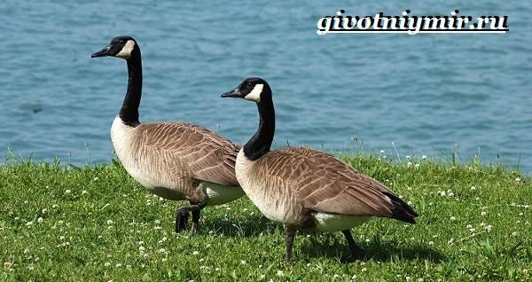Казарка-птица-Образ-жизни-и-среда-обитания-птицы-казарки-2