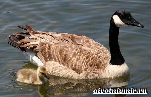 Казарка-птица-Образ-жизни-и-среда-обитания-птицы-казарки-6