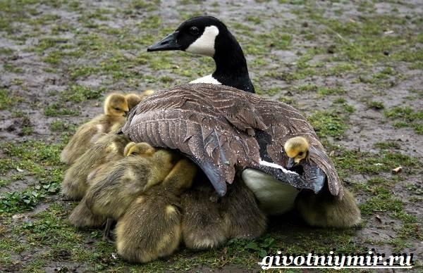Казарка-птица-Образ-жизни-и-среда-обитания-птицы-казарки-8