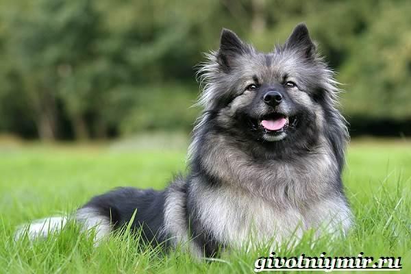 Кеесхонд-собака-Описание-особенности-уход-и-цена-кеесхонда-1