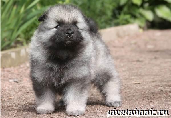 Кеесхонд-собака-Описание-особенности-уход-и-цена-кеесхонда-10