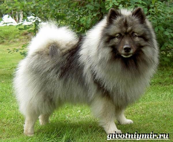 Кеесхонд-собака-Описание-особенности-уход-и-цена-кеесхонда-2