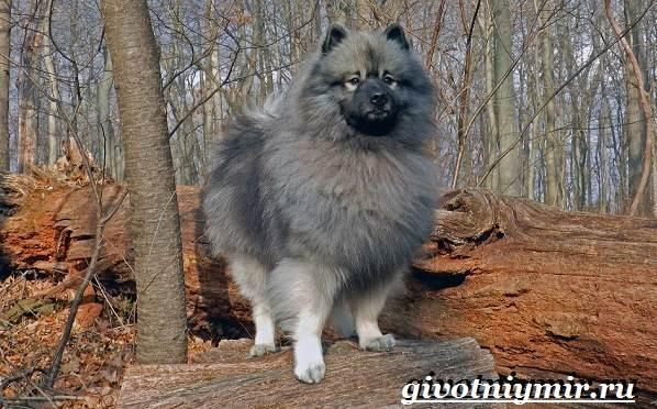 Кеесхонд-собака-Описание-особенности-уход-и-цена-кеесхонда-3