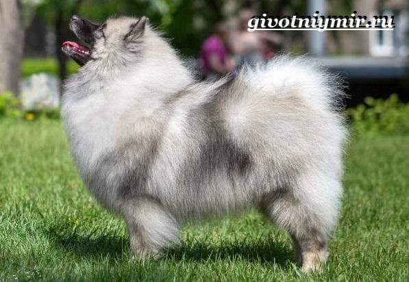 Кеесхонд-собака-Описание-особенности-уход-и-цена-кеесхонда-5