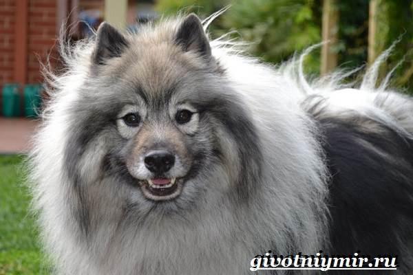 Кеесхонд-собака-Описание-особенности-уход-и-цена-кеесхонда-6