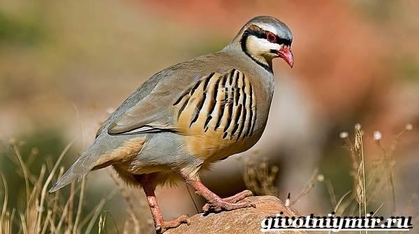 Кеклик-птица-Образ-жизни-и-среда-обитания-птицы-кеклик-1
