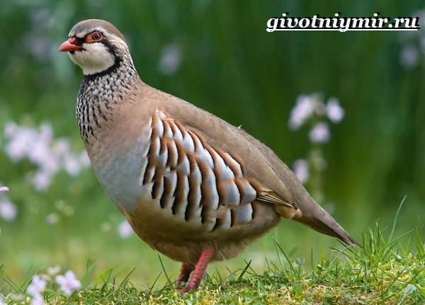 Кеклик-птица-Образ-жизни-и-среда-обитания-птицы-кеклик-2