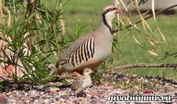 Кеклик-птица-Образ-жизни-и-среда-обитания-птицы-кеклик-5