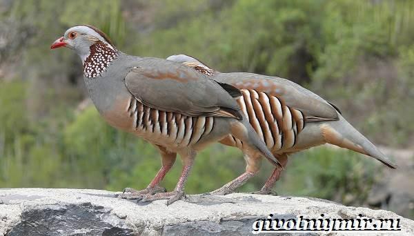Кеклик-птица-Образ-жизни-и-среда-обитания-птицы-кеклик-6
