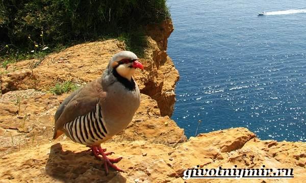 Кеклик-птица-Образ-жизни-и-среда-обитания-птицы-кеклик-8