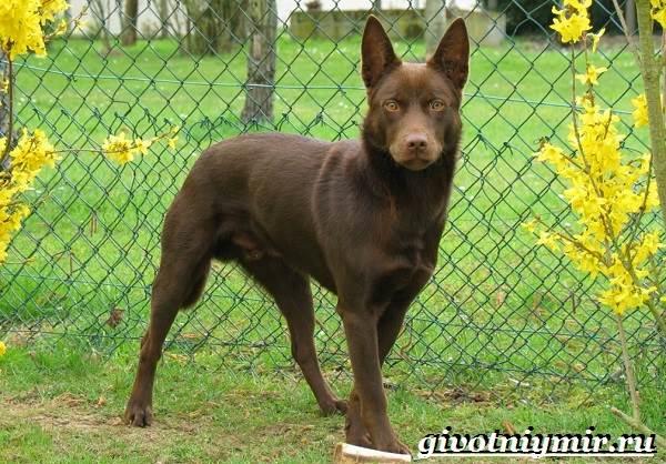 Келпи-порода-собак-Описание-особенности-уход-и-цена-келпи-1