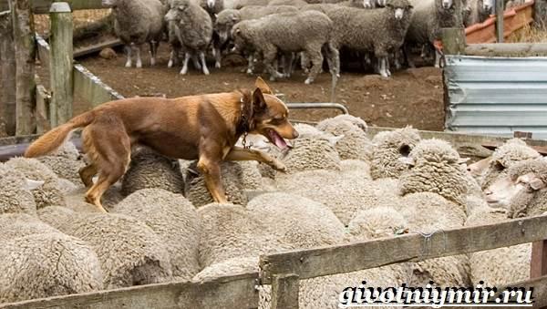 Келпи-порода-собак-Описание-особенности-уход-и-цена-келпи-2