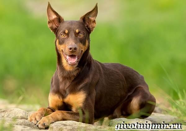Келпи-порода-собак-Описание-особенности-уход-и-цена-келпи-3