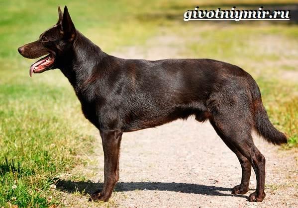 Келпи-порода-собак-Описание-особенности-уход-и-цена-келпи-4