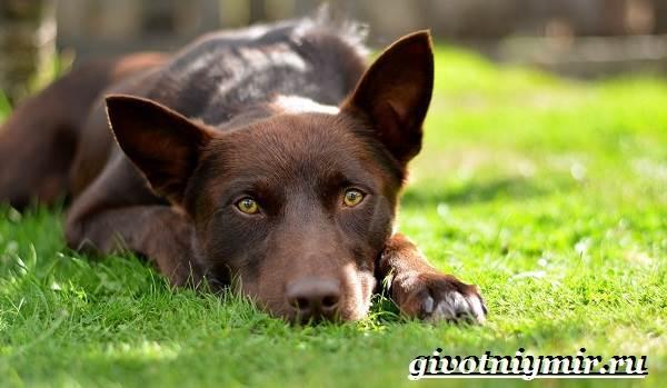 Келпи-порода-собак-Описание-особенности-уход-и-цена-келпи-5