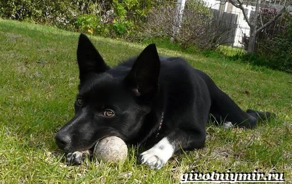 Келпи-порода-собак-Описание-особенности-уход-и-цена-келпи-6