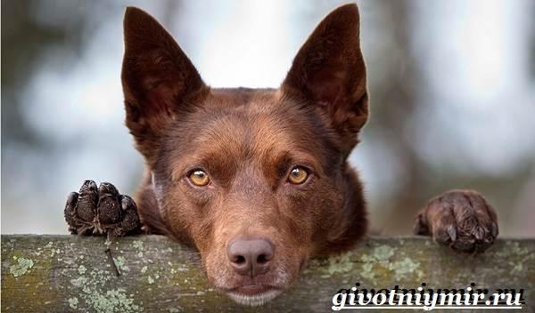Келпи-порода-собак-Описание-особенности-уход-и-цена-келпи-9