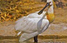 Колпица птица. Образ жизни и среда обитания птицы колпицы