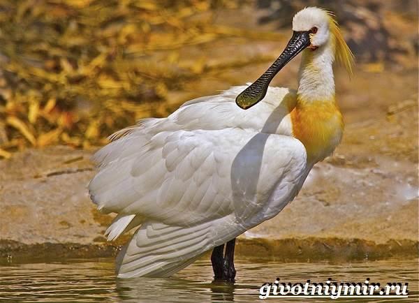 Колпица-птица-Образ-жизни-и-среда-обитания-птицы-колпицы-1