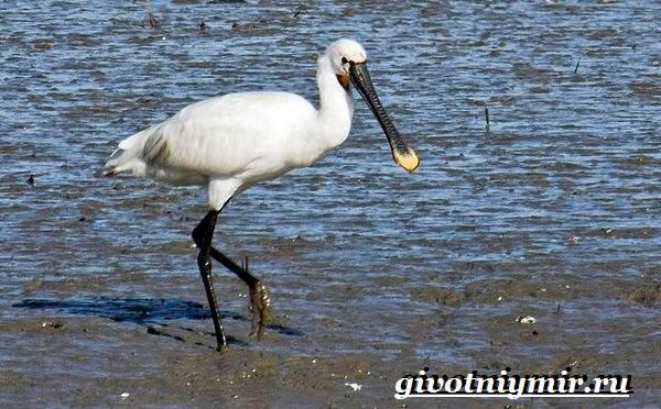 Колпица-птица-Образ-жизни-и-среда-обитания-птицы-колпицы-10