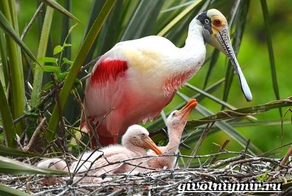 Колпица-птица-Образ-жизни-и-среда-обитания-птицы-колпицы-12