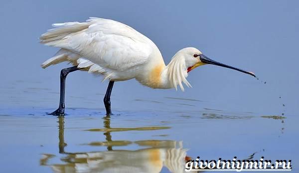 Колпица-птица-Образ-жизни-и-среда-обитания-птицы-колпицы-2
