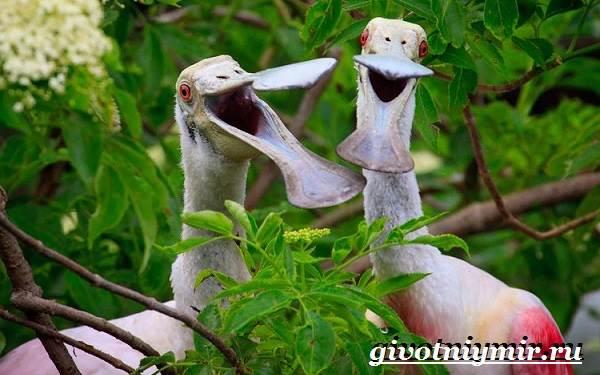 Колпица-птица-Образ-жизни-и-среда-обитания-птицы-колпицы-4