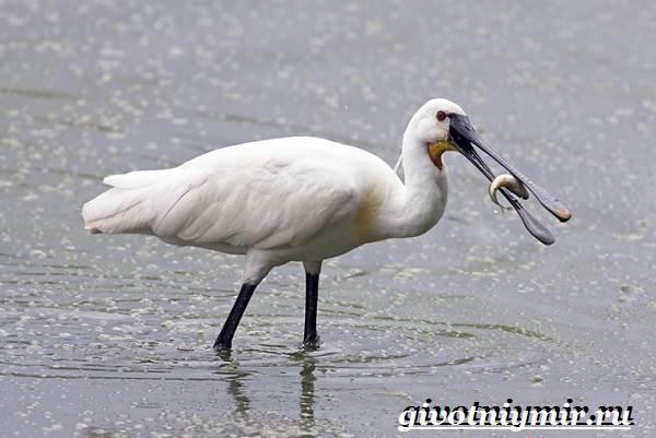 Колпица-птица-Образ-жизни-и-среда-обитания-птицы-колпицы-5