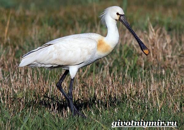 Колпица-птица-Образ-жизни-и-среда-обитания-птицы-колпицы-6