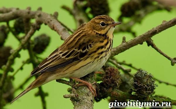 Конек-птица-Образ-жизни-и-среда-обитания-птицы-конек-1