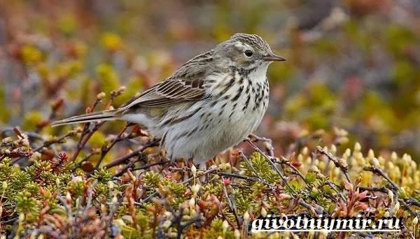 Конек-птица-Образ-жизни-и-среда-обитания-птицы-конек-10