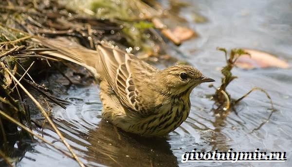 Конек-птица-Образ-жизни-и-среда-обитания-птицы-конек-11