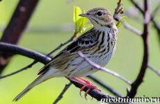 Конек птица. Образ жизни и среда обитания птицы конек