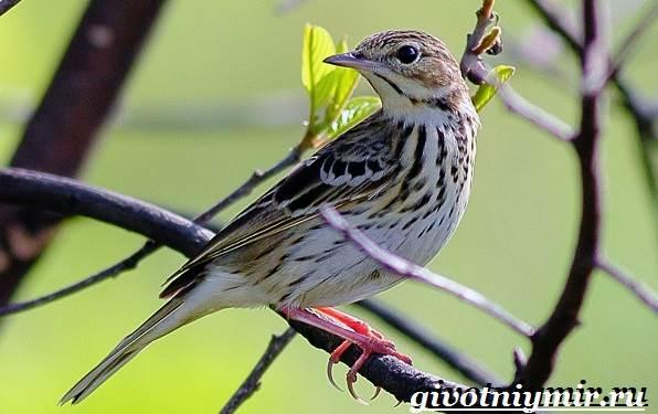 Конек-птица-Образ-жизни-и-среда-обитания-птицы-конек-2
