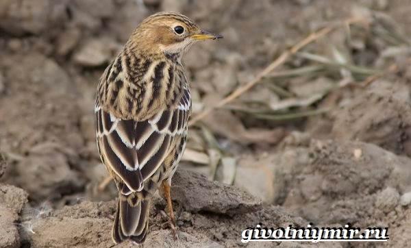 Конек-птица-Образ-жизни-и-среда-обитания-птицы-конек-3