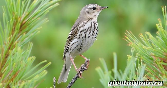 Конек-птица-Образ-жизни-и-среда-обитания-птицы-конек-4